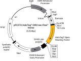 pFC27A HaloTag(R) CMV-neo Flexi(R) Vector 20ug