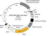 pF9A CMV hRluc-neo Flexi(R) Vector 20ug